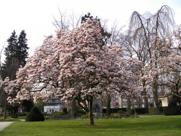 j'adore les magnolias en fleurs...